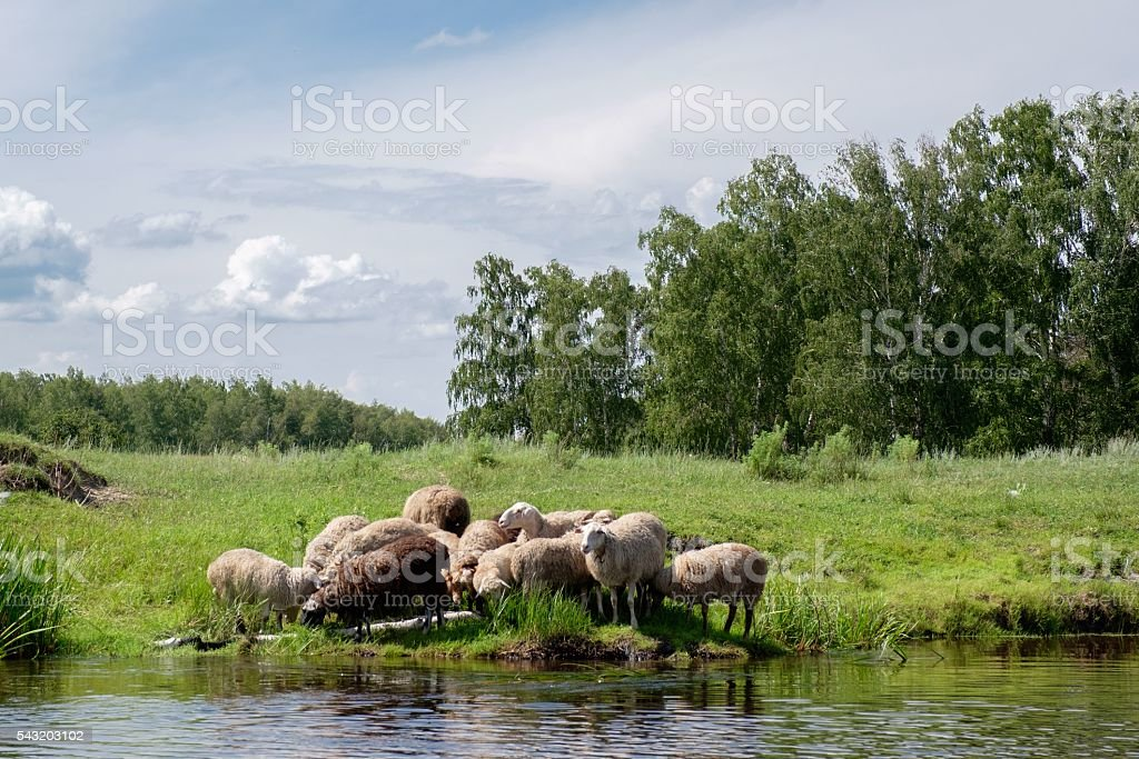 Young sheep on the riverside stock photo