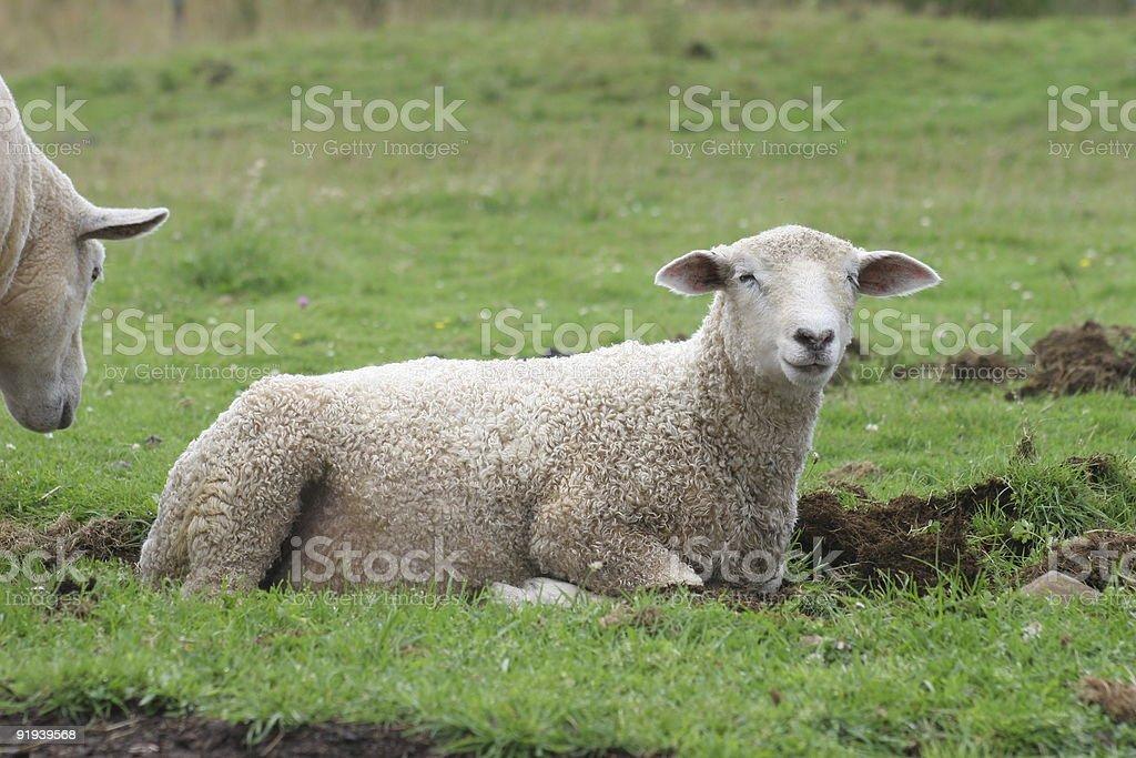 Young Sheep royalty-free stock photo