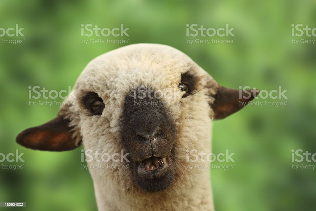 young sheep portrait royalty-free stock photo
