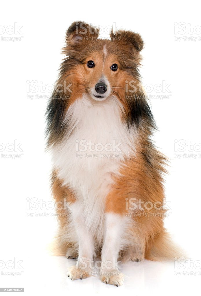 young shetland dog stock photo