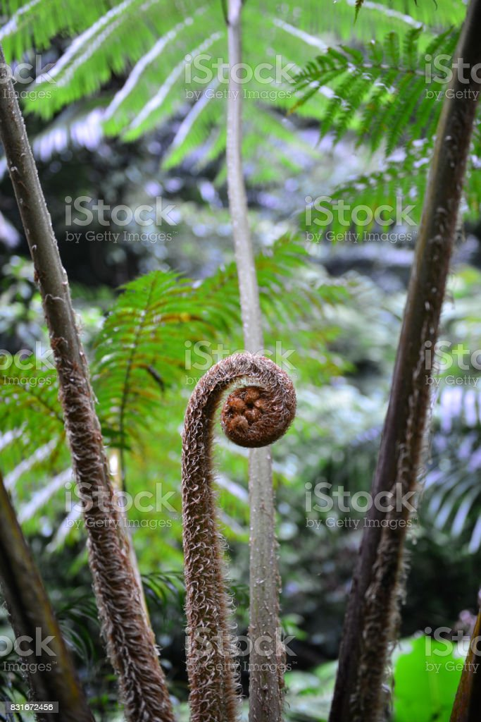 Young shoot of fern close up in garden stock photo