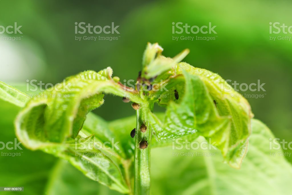 Young shoot viburnum, aphids damaged stock photo