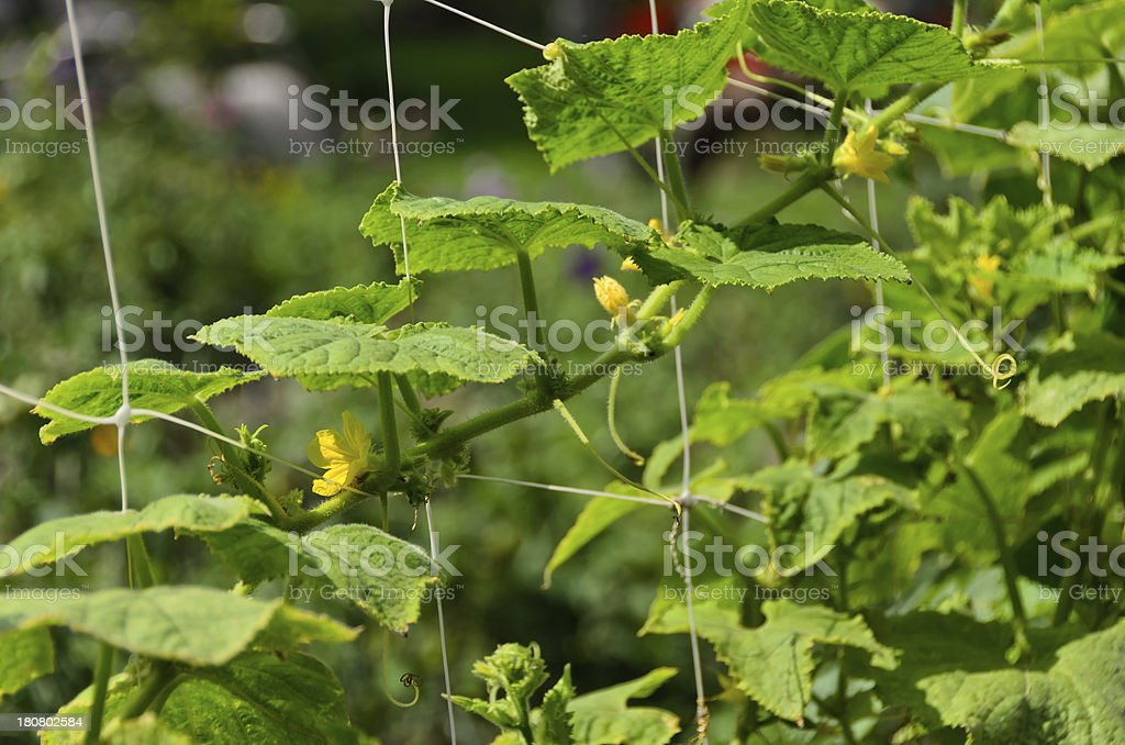 Young shoots of cucumber on a string in the garden royalty-free stock photo