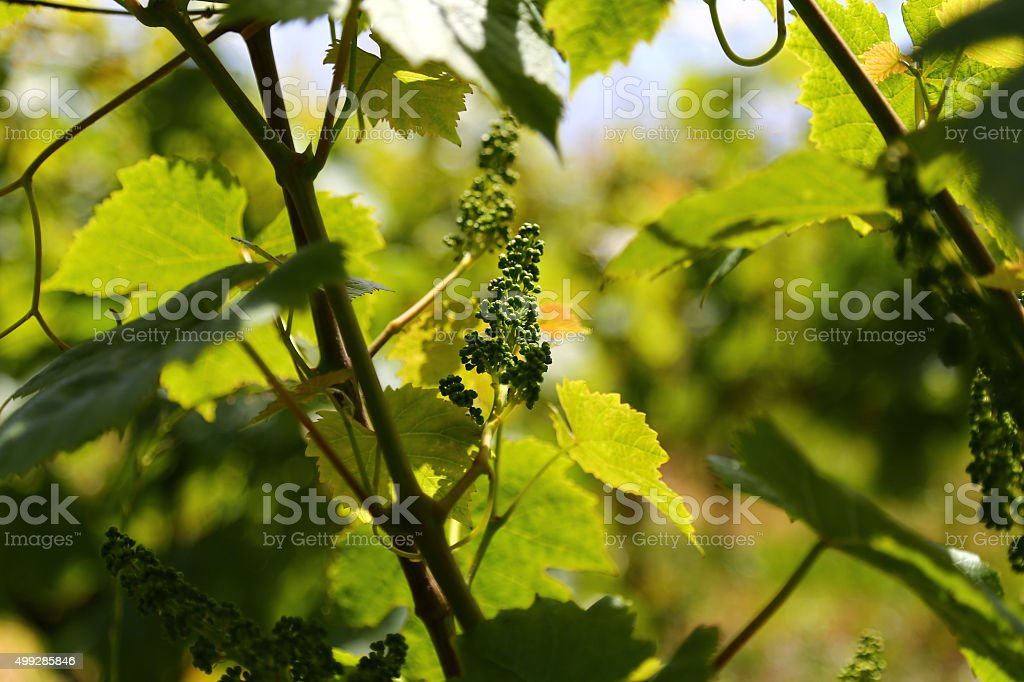 Young shoots on grapes close up in June, Switzerland stock photo