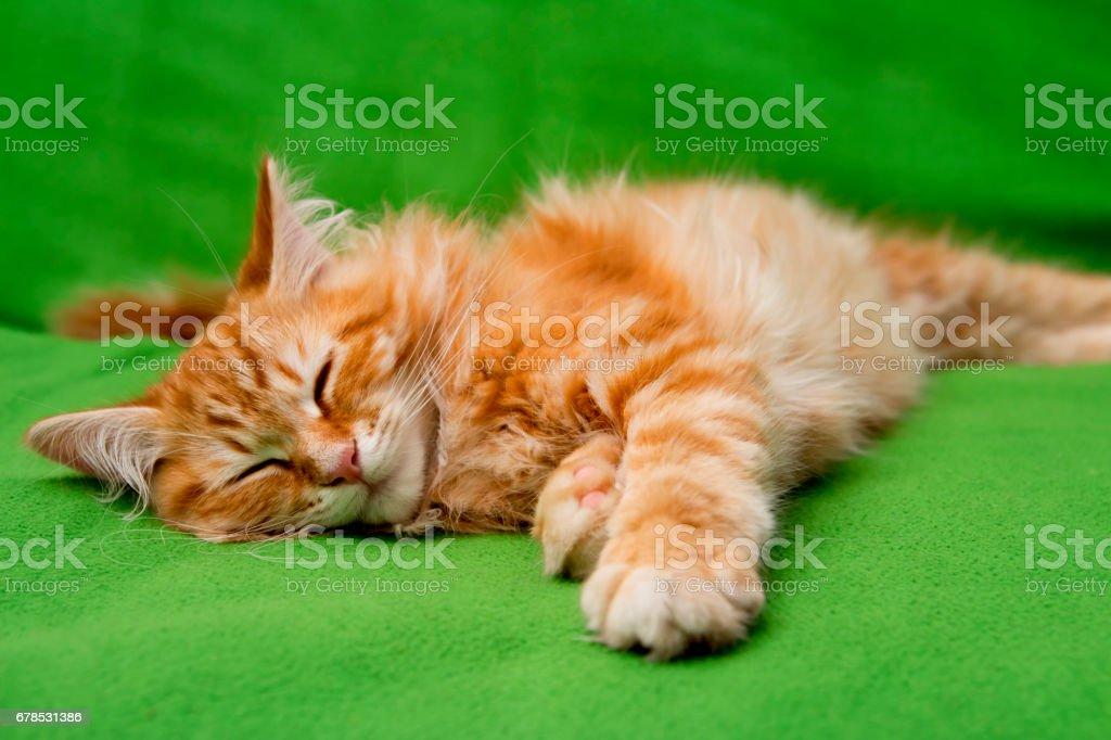 young siberian cat sleeping stock photo