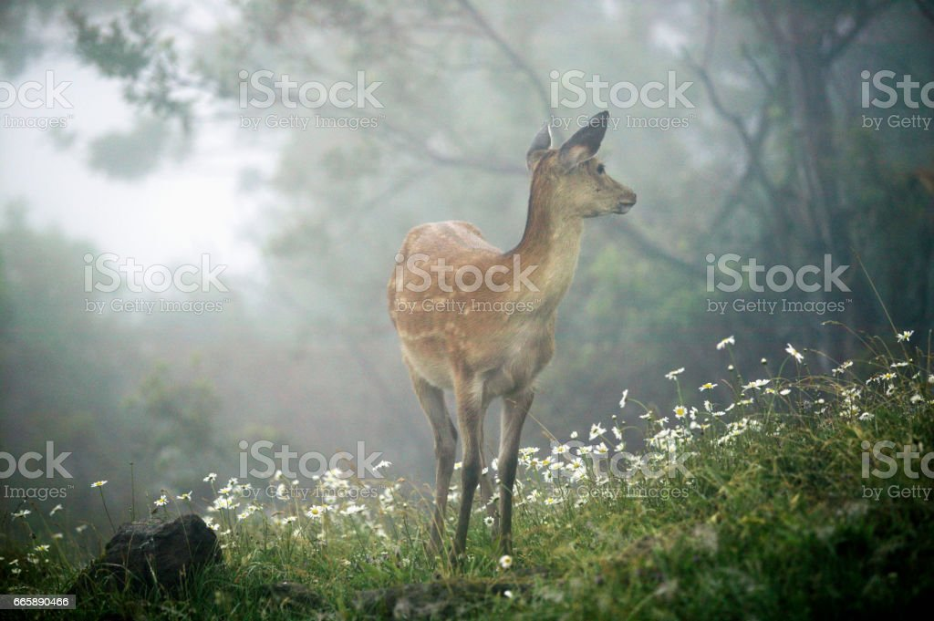 Young sika deer and Margaret flowers stock photo