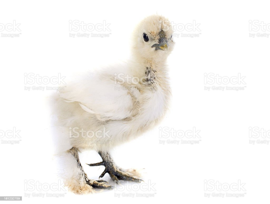 young Silkie royalty-free stock photo