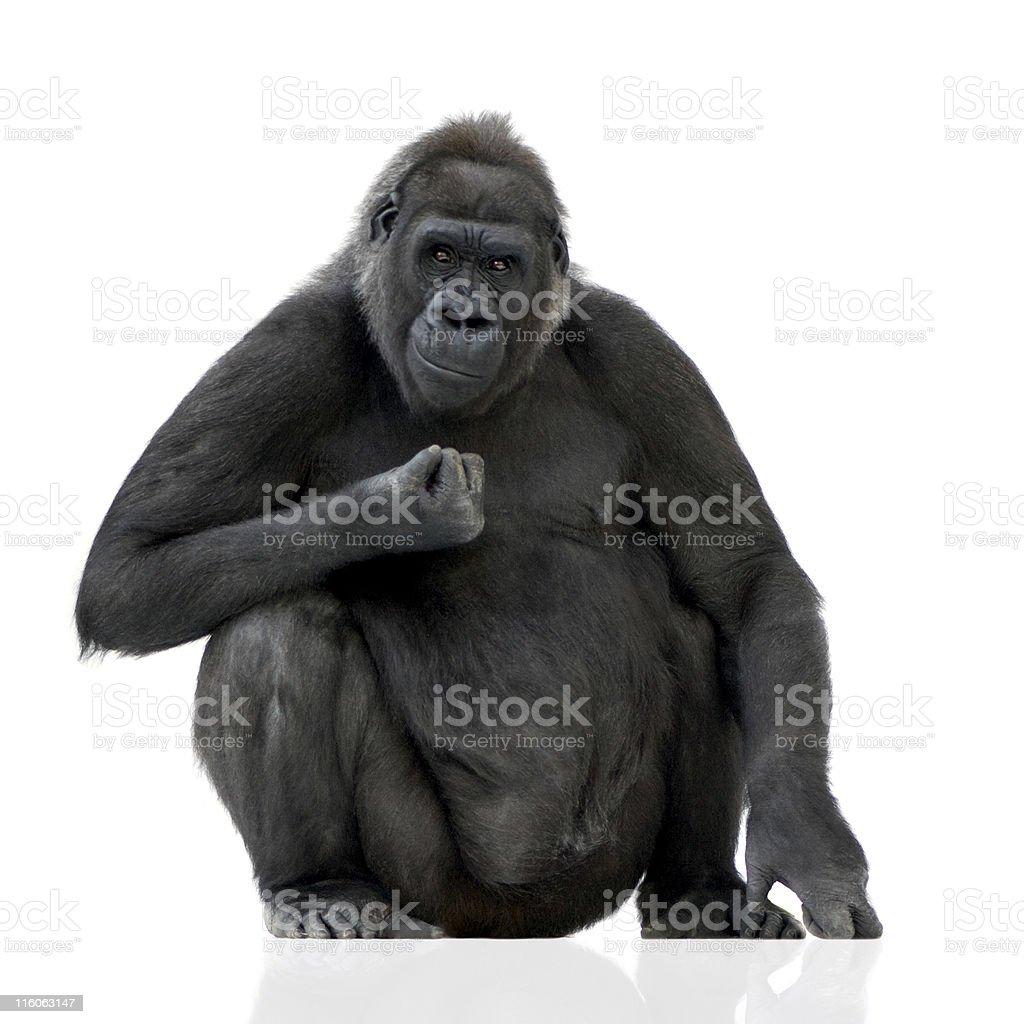 Young Silverback Gorilla stock photo