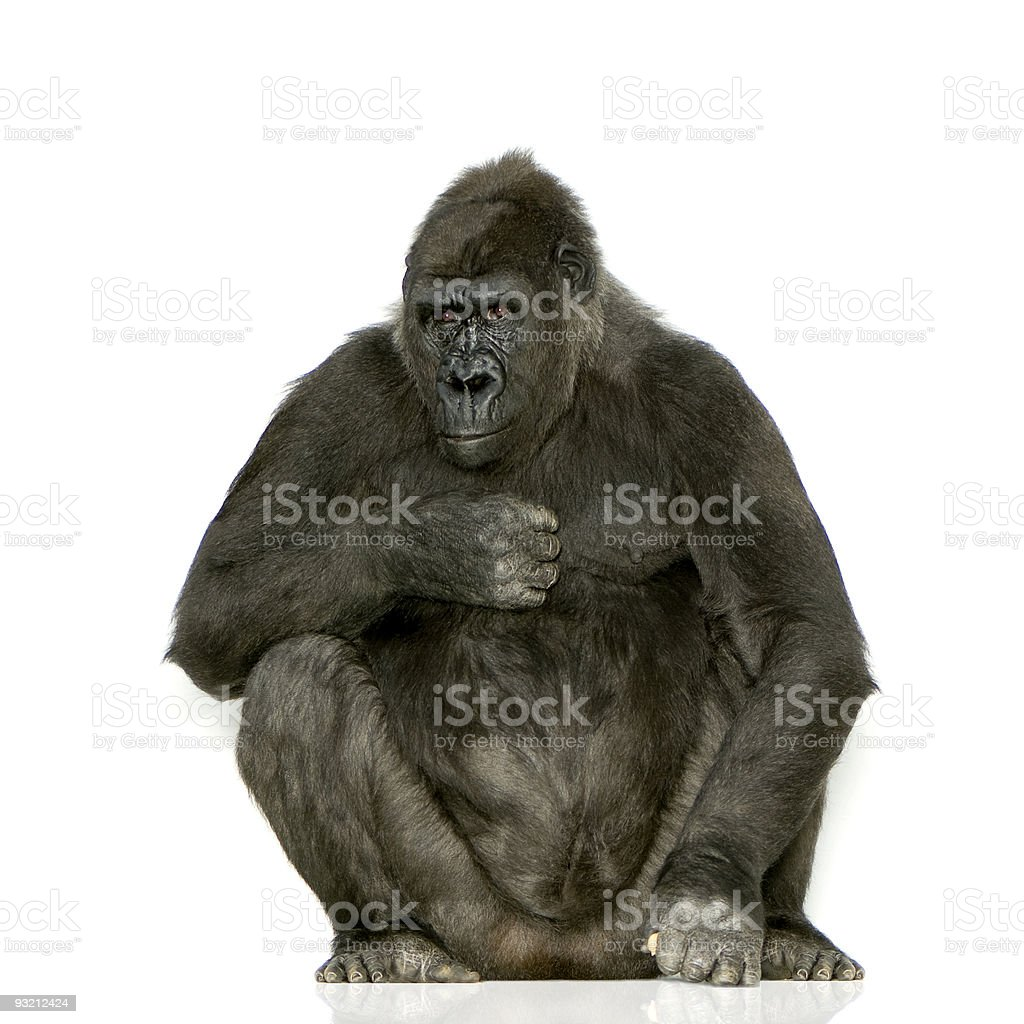 Young Silverback Gorilla royalty-free stock photo