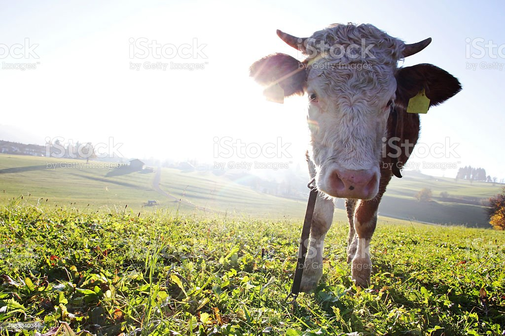 young Simmental cow backlit by the sun stock photo