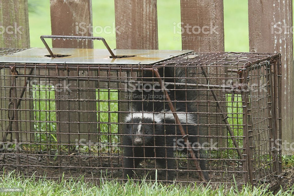 Young Skunk In Live Trap. Animal Pest Control. stock photo