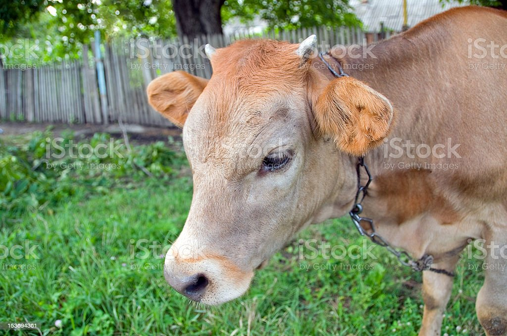 Young small bull stock photo