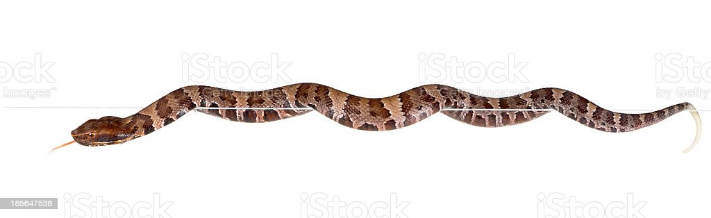 Young snake American Copperhead   crawling on the edge stock photo