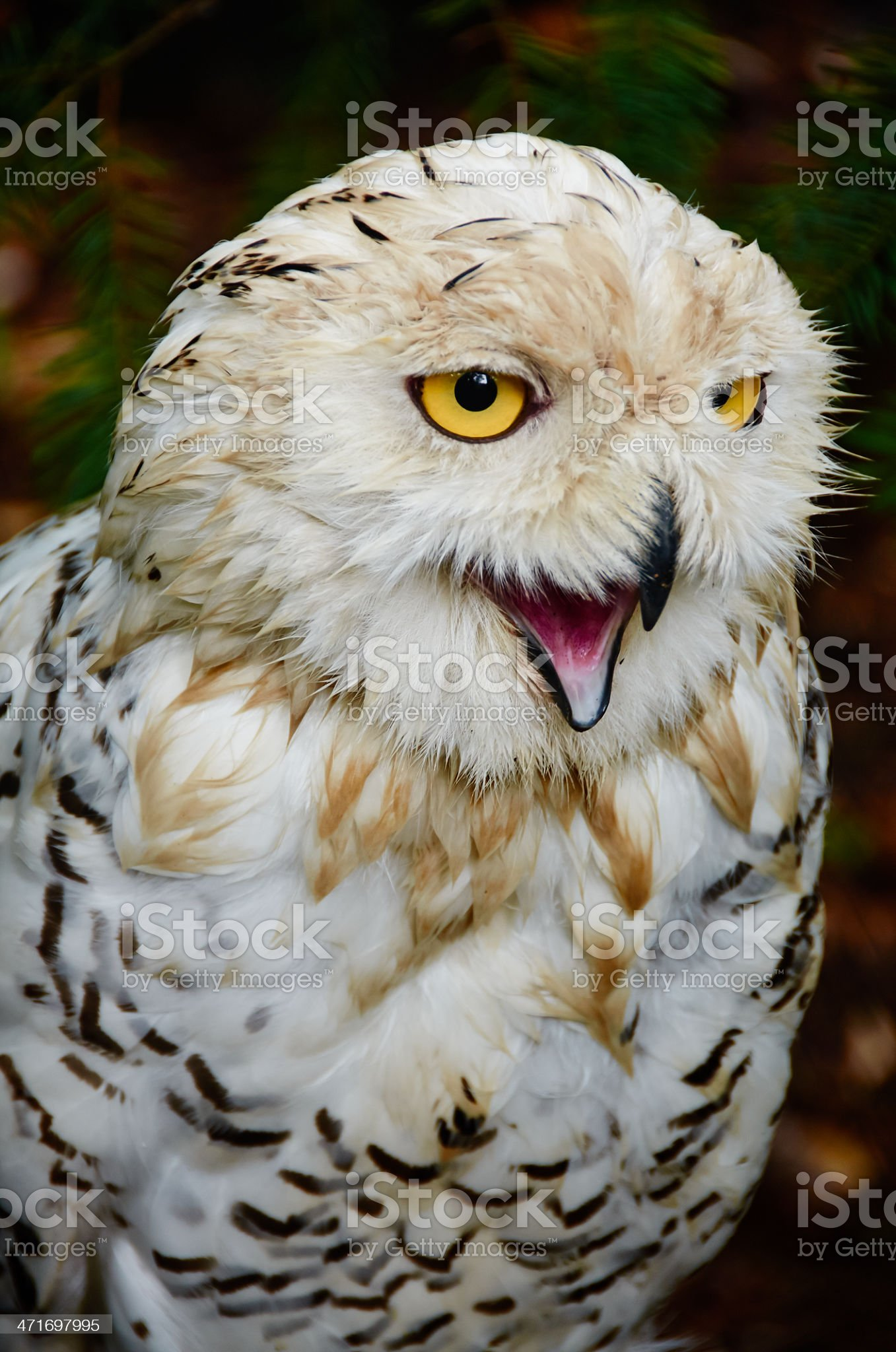 Young snowy owl is angry royalty-free stock photo