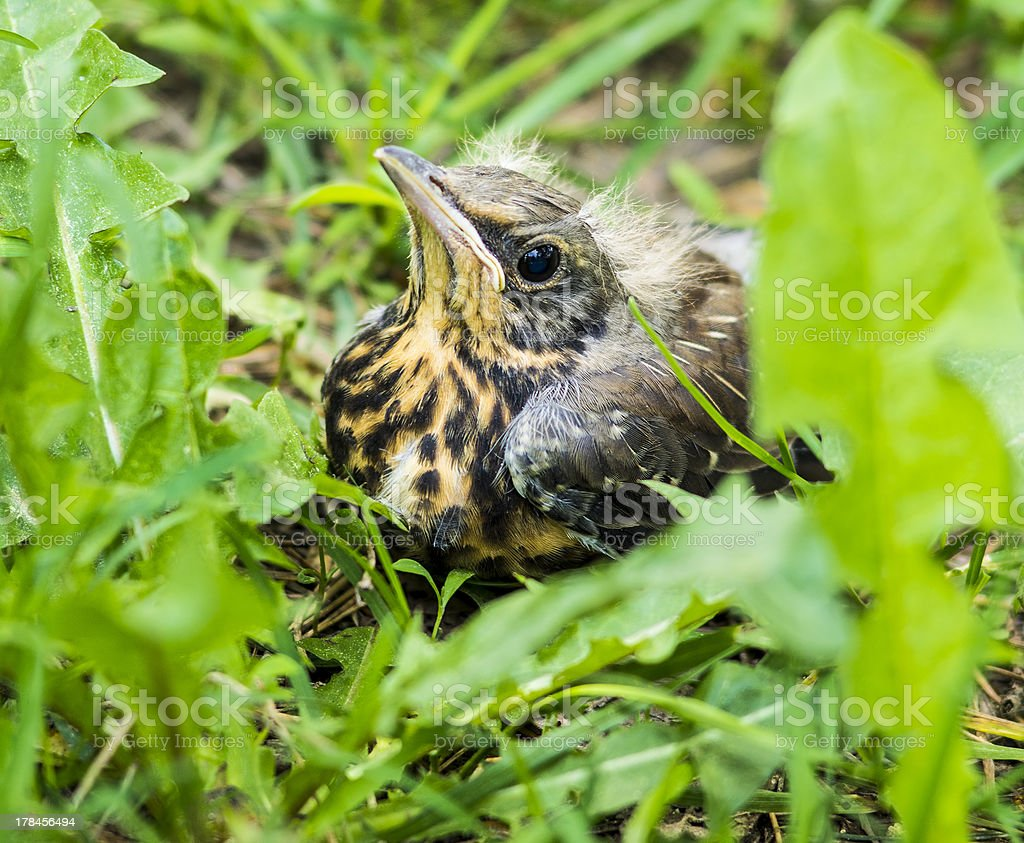 young song thrush chick sitting in grass stock photo