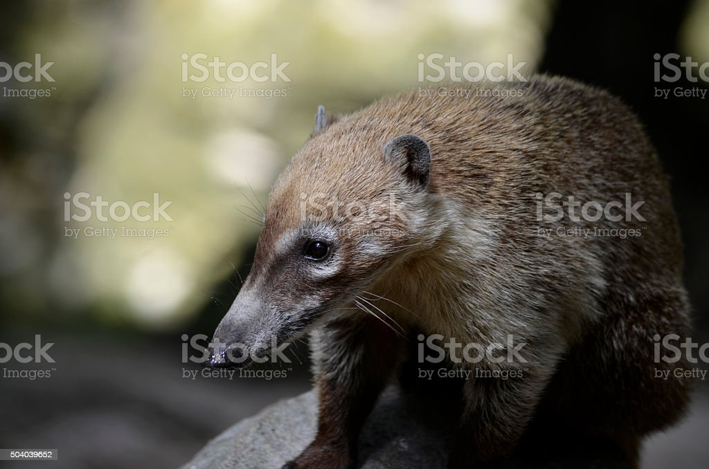 Young South American Coati on a Rock stock photo