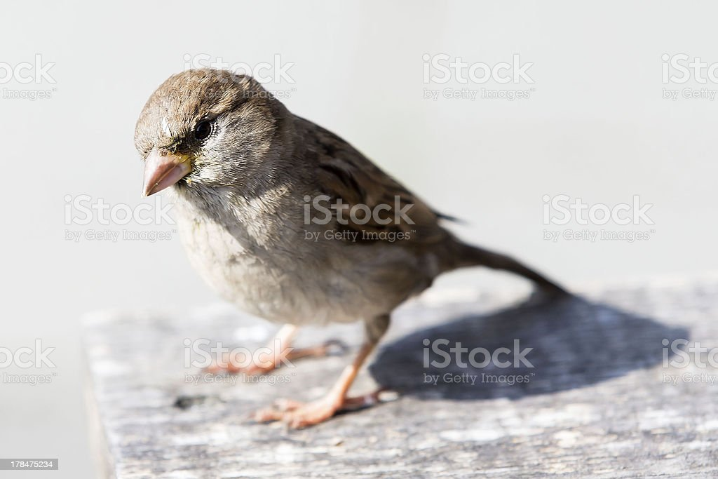 Young sparrow on an bench stock photo