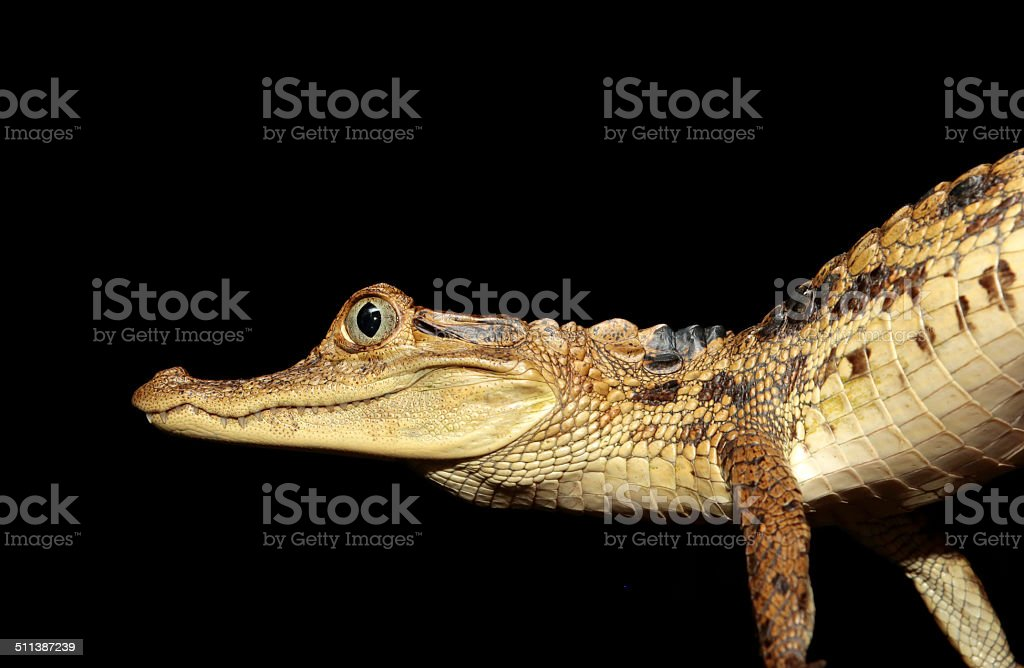 Young spectacled caiman, French Guiana stock photo