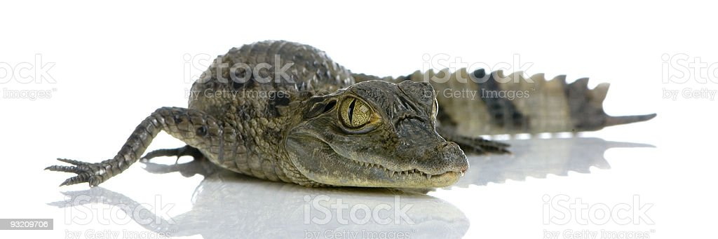 young Spectacled Caiman stock photo