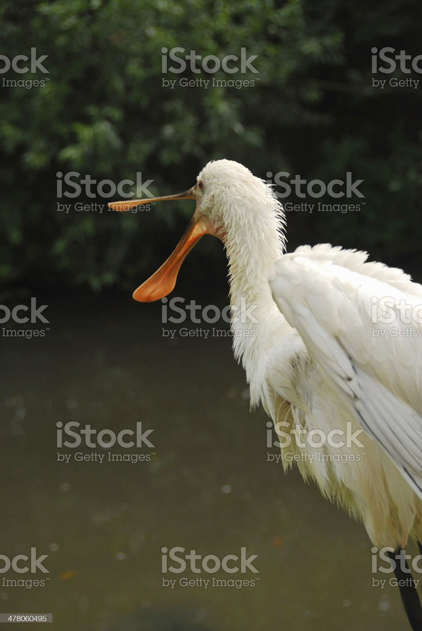 Young Spoonbill with open beak near a pond. royalty-free stock photo