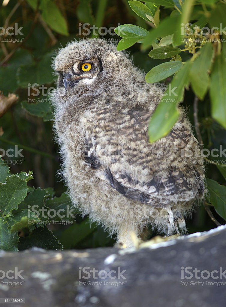 Young Spotted Eagle Owl stock photo