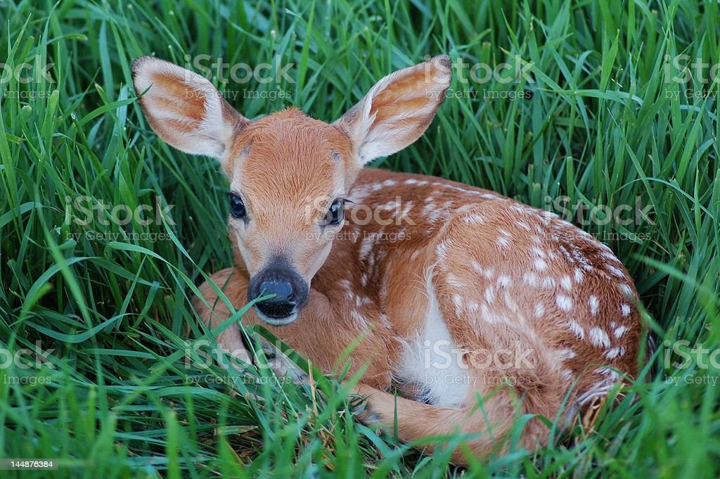 Young Spotted Fawn stock photo