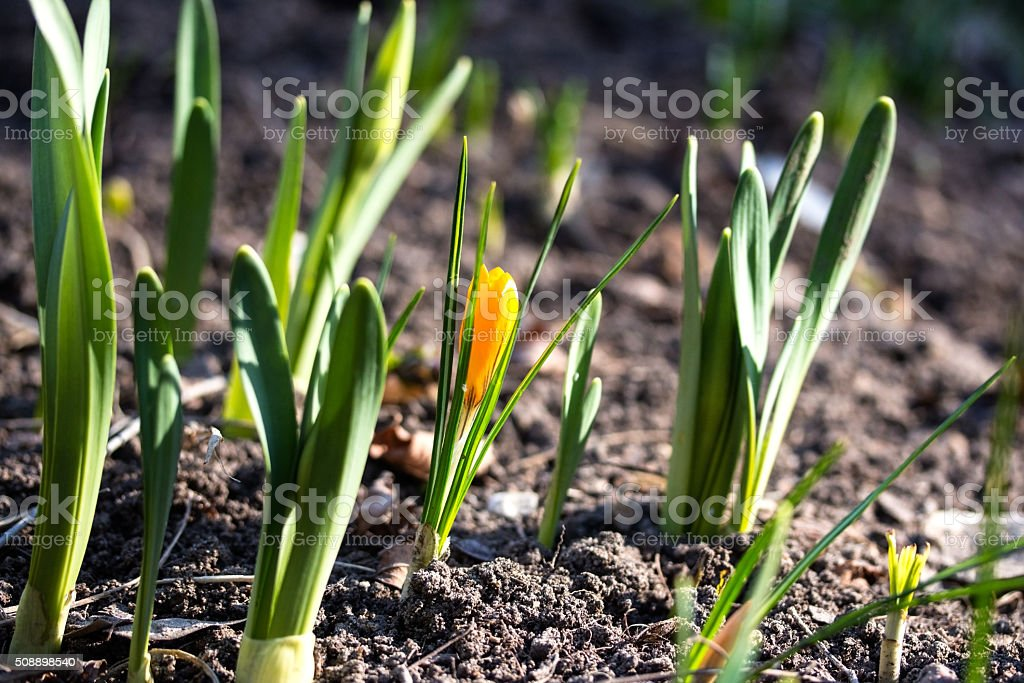 Young spring flower. stock photo