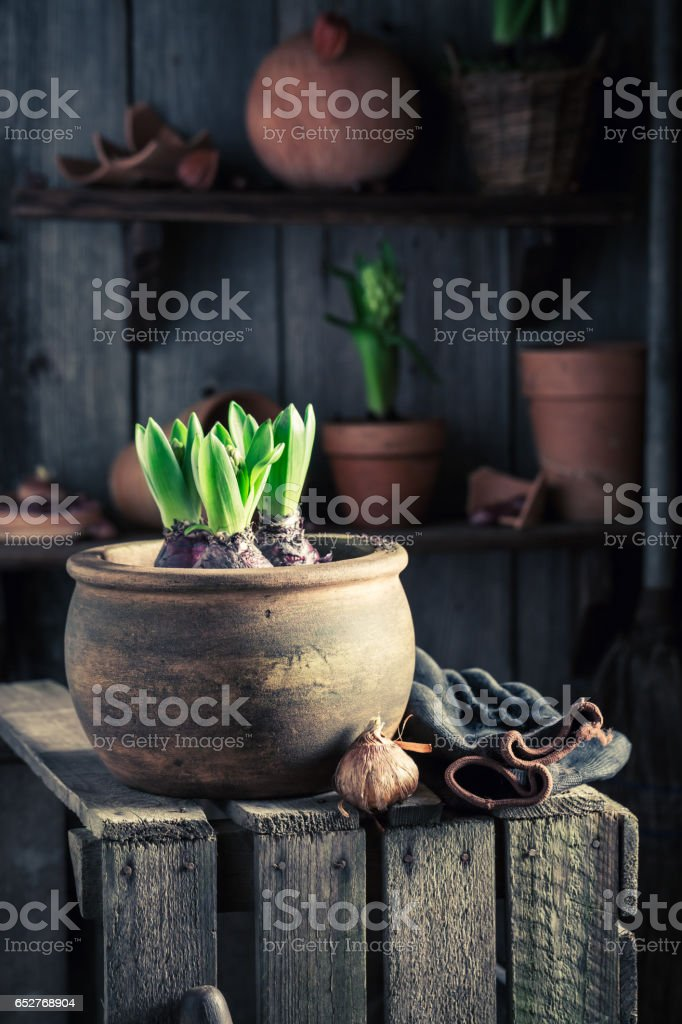 Young spring flowers and old clay pots stock photo