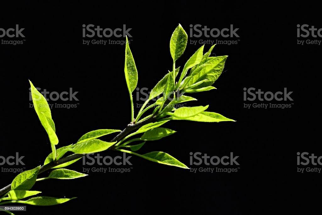 Young spring leaves of Osage orange Maclura Pomifera on black background stock photo