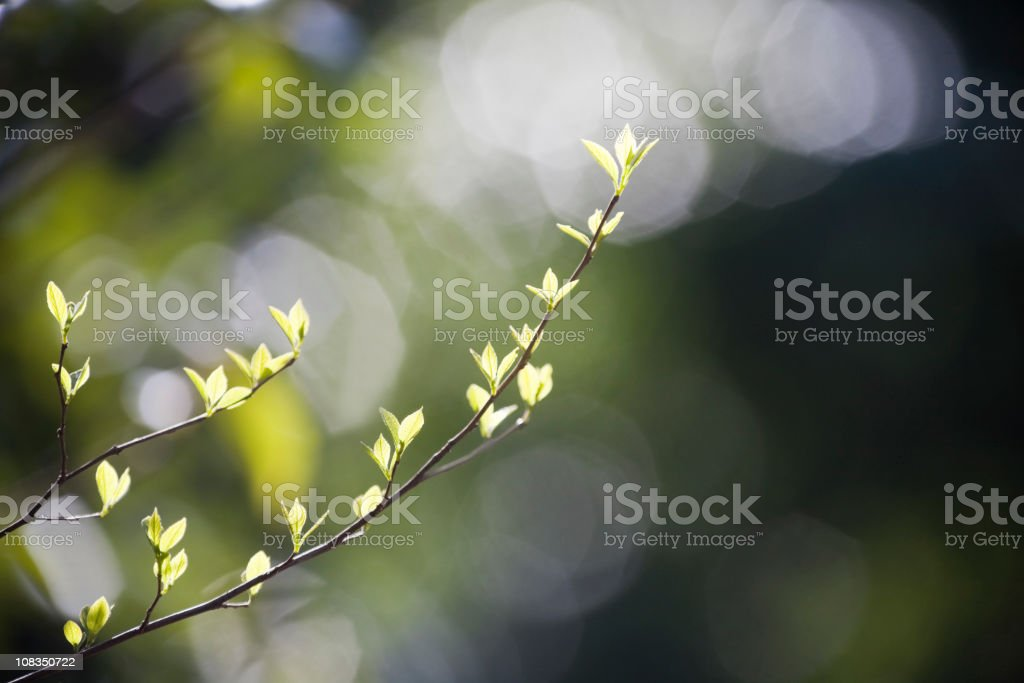 Young Spring Leaves royalty-free stock photo