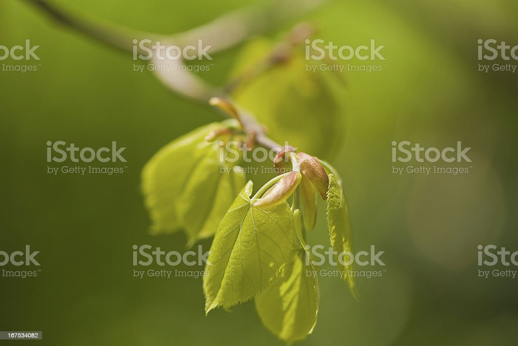Young Spring Tree Leafs royalty-free stock photo