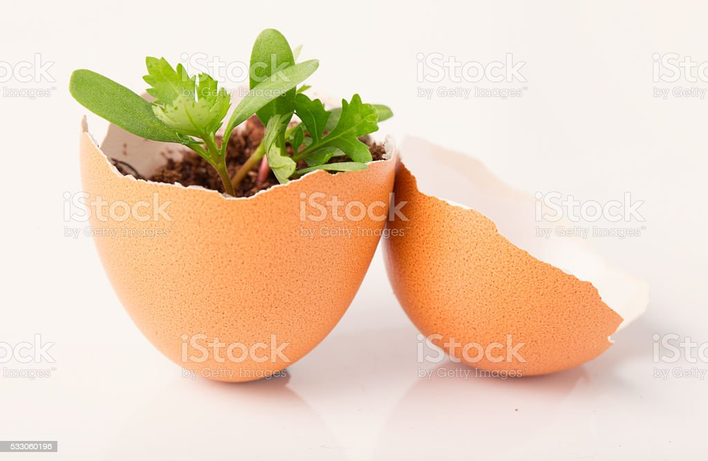 Young sprout in a half of an egg shell stock photo