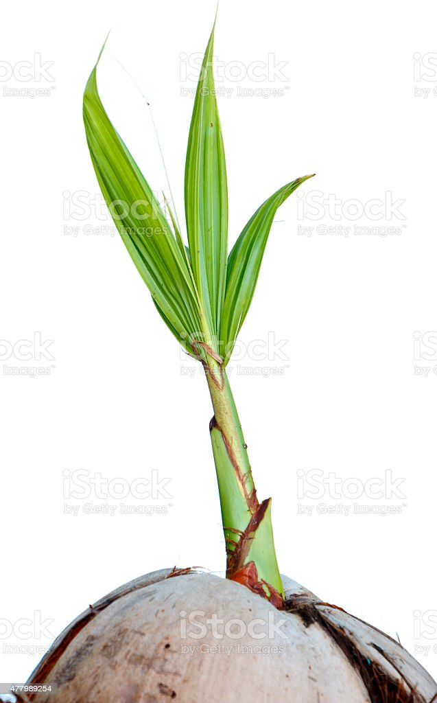 Young sprout of coconut isolated stock photo