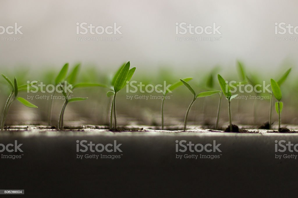 Tomato seedlings sprout stock photo