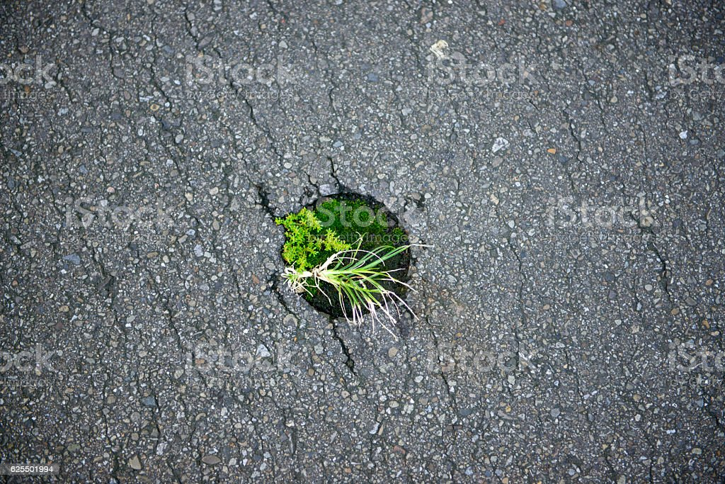 Young sprout through asphalt on city road. stock photo