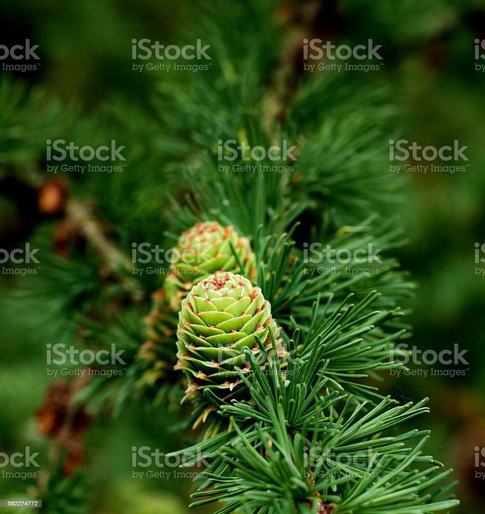Young Sprouts Green Cones stock photo