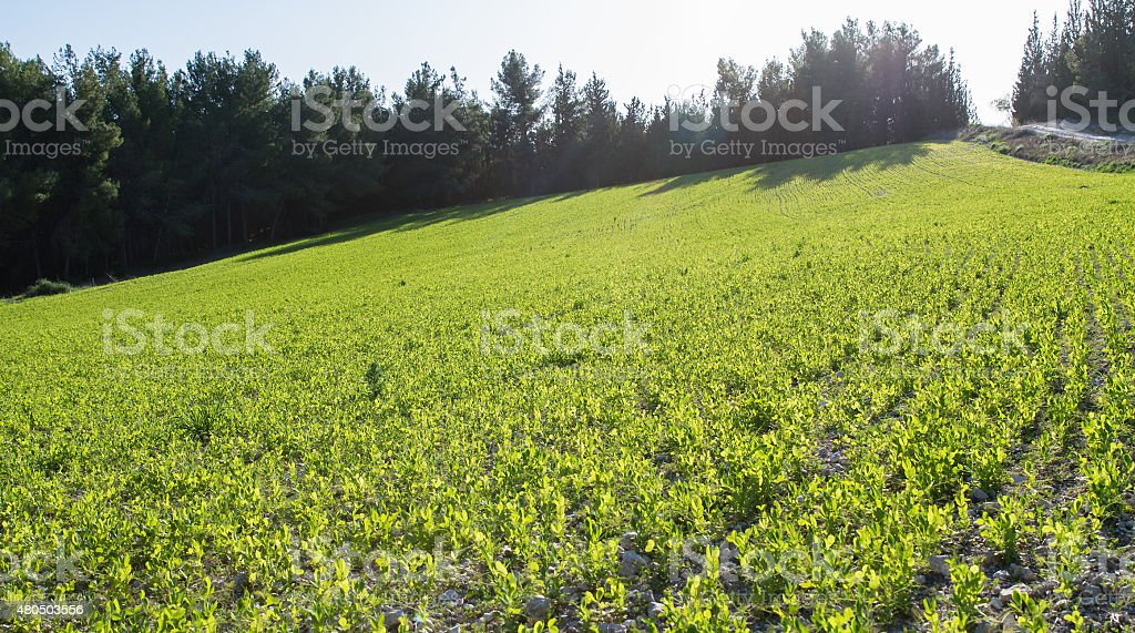 Young sprouts of legumes. stock photo