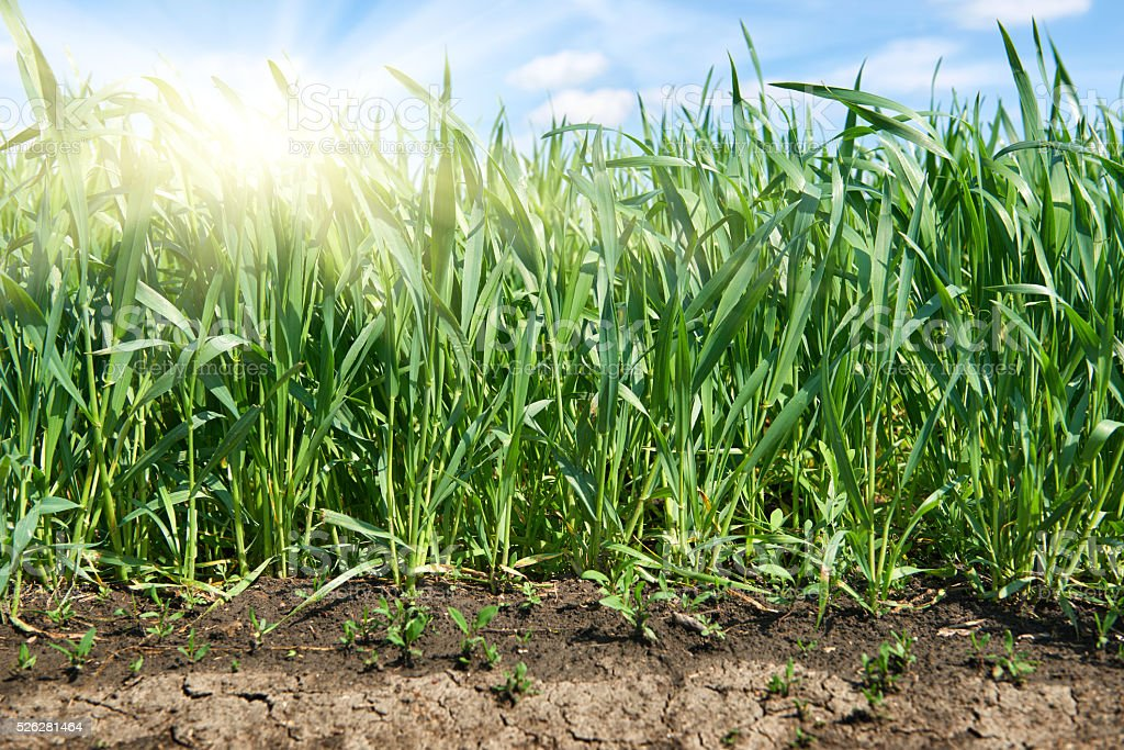 young sprouts of wheat field closeup and sun, spring landscape stock photo