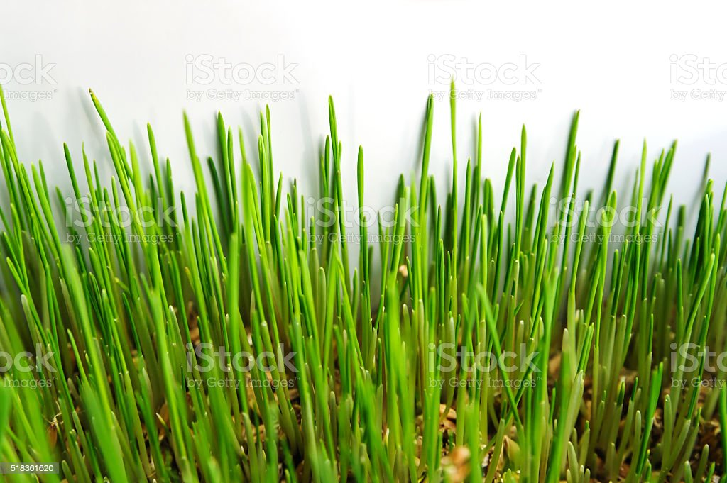 Young sprouts of wheat. stock photo