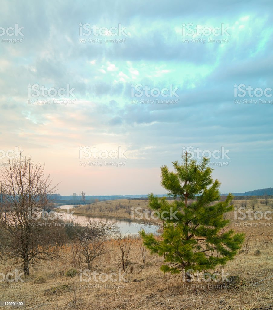 Young spruce. royalty-free stock photo