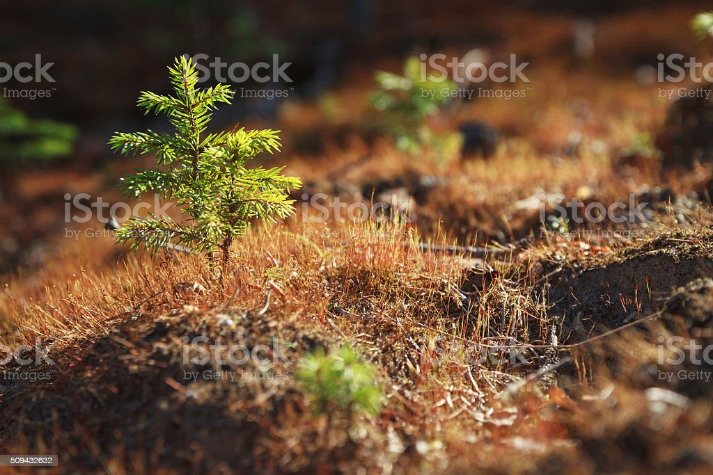 young spruce stock photo