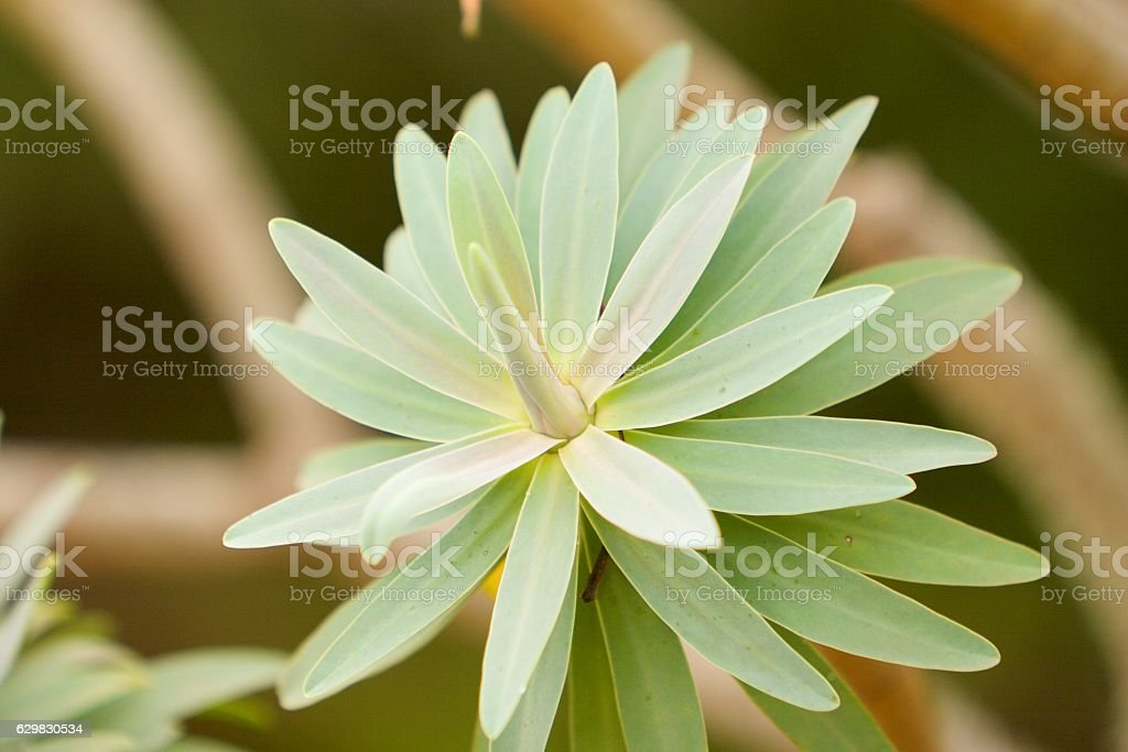 Young spurge stock photo
