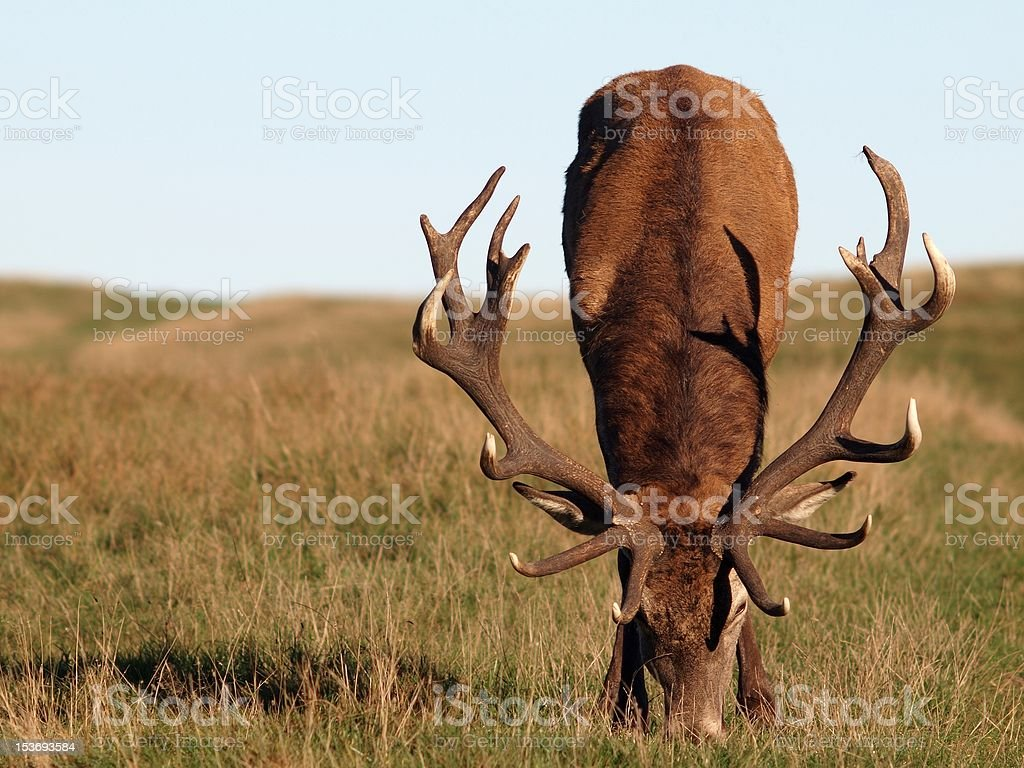 Young stag feeding stock photo