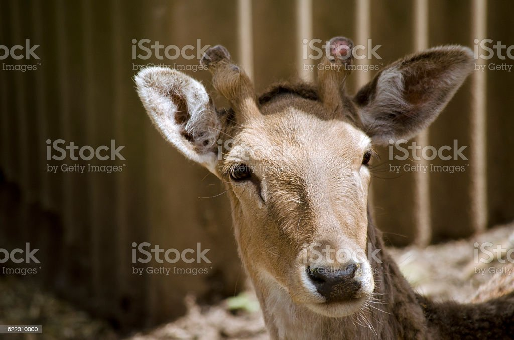 young stag stock photo