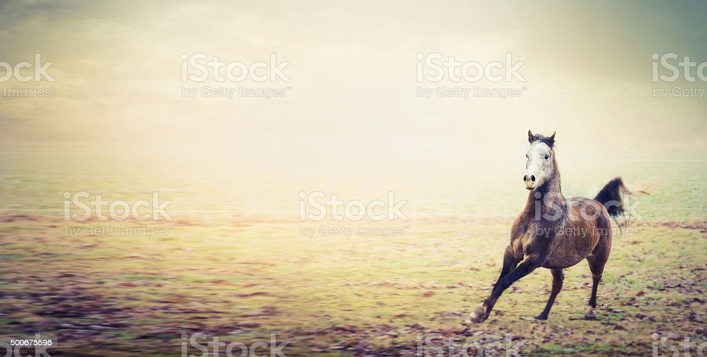 Young stallion horse running on autumn pasture , banner stock photo