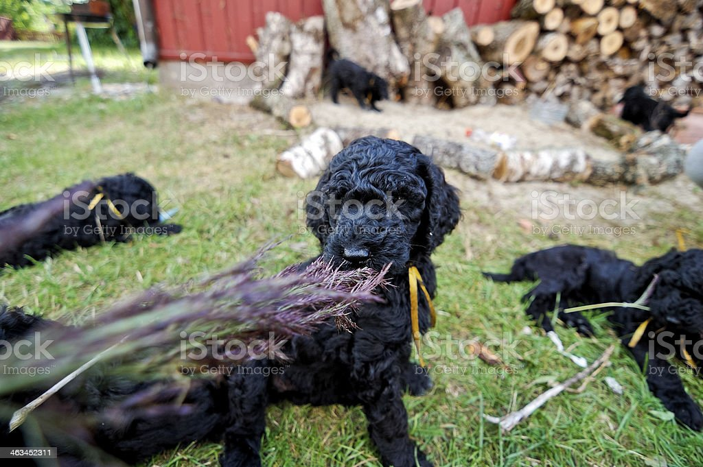 Young standard poodles royalty-free stock photo