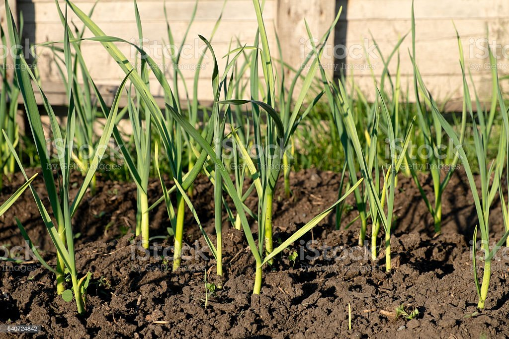 Young stems garlic sprouts in the garden stock photo