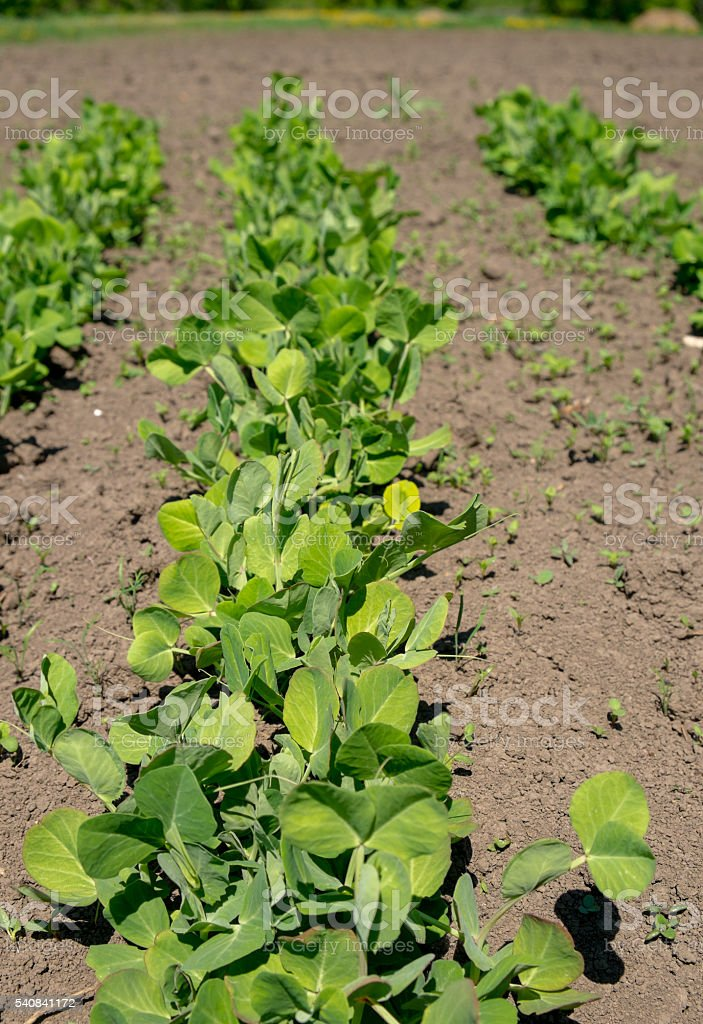 Young stems peas sprouts in the garden stock photo