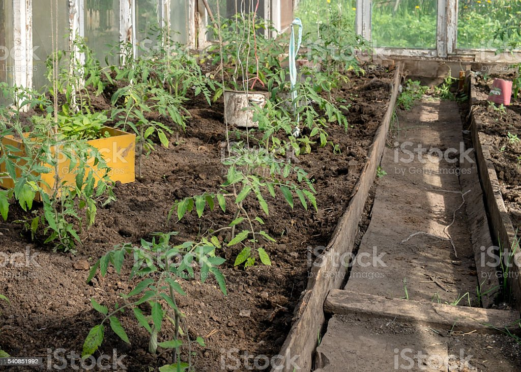 Young stems tomatoes in the greenhouse stock photo