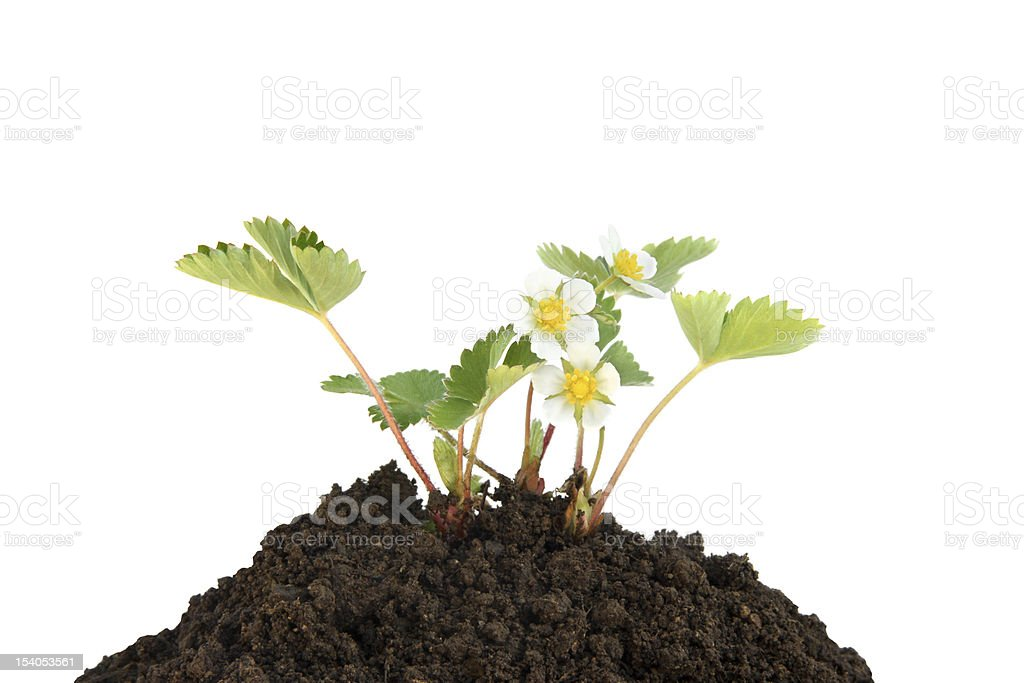 Young strawberry plant in soil stock photo